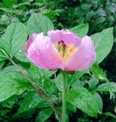 紅花山芍薬